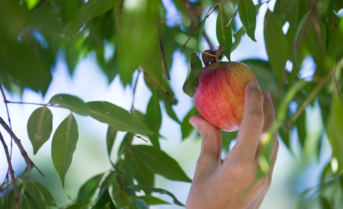 Hand picking apple what is healing